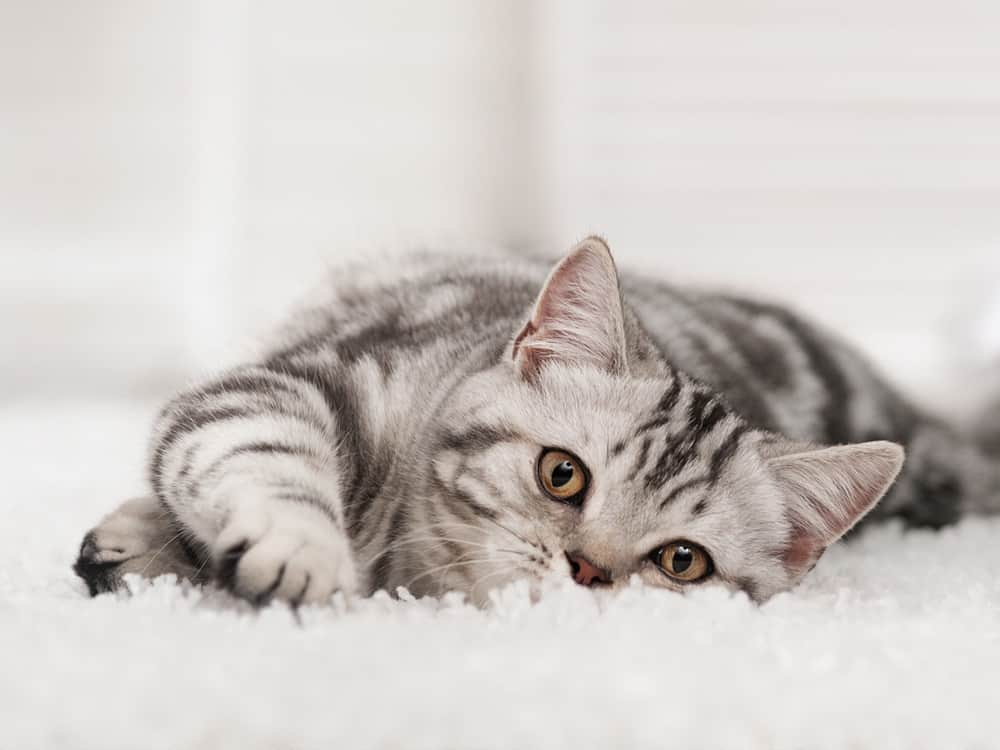 How to get rid of cat pee smell and clean cat wee off carpet